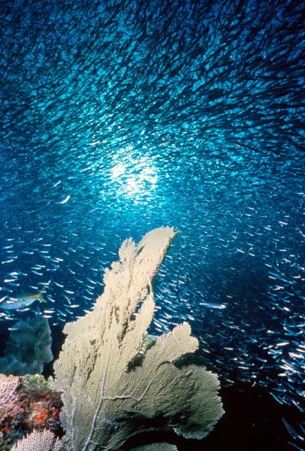 Coral reef. Oceans may be acidifying faster today than in the last 300 million years. (Credit: NOAA)