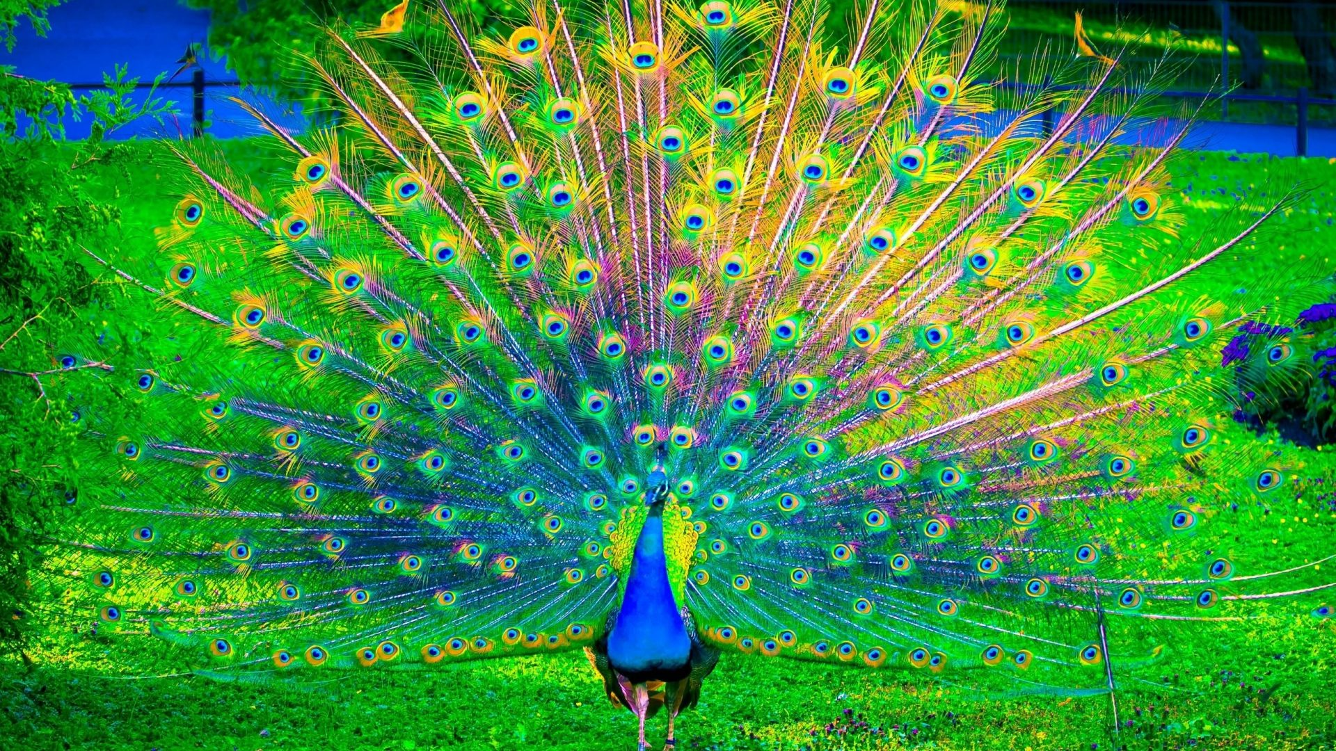 Peacock Colorful Bird Birds Wallpaper Wallpapers - Resilience