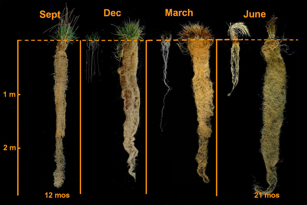 Annual vs perennial roots