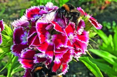 Bees on Sweet William