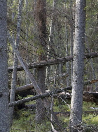 Finnish old growth forest